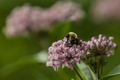 Flor del este de Bee Holding Milkweed del carpintero con las piernas Imagen de archivo