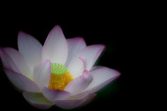 Flor del flor de Lotus imagenes de archivo