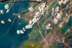 Flor del flor del ciruelo fotos de archivo