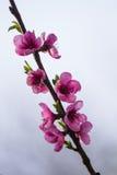 Flor del flor del resorte Foto de archivo