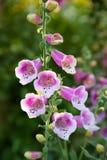Flor del Foxglove Fotografía de archivo libre de regalías