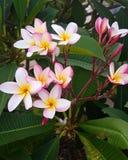 Flor del Frangipani Fotos de archivo libres de regalías