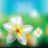 Flor del Frangipani Stock de ilustración