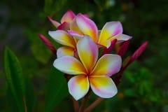 Flor del Frangipani Imagen de archivo libre de regalías