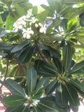 Flor del Frangipani imágenes de archivo libres de regalías