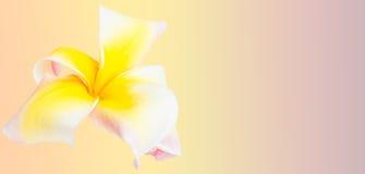 Flor del Frangipani Fotos de archivo