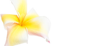 Flor del Frangipani Foto de archivo