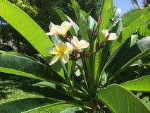 Flor del Frangipani Fotografía de archivo libre de regalías