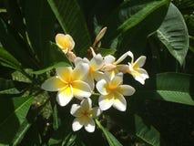 Flor del Frangipani Fotografía de archivo