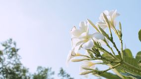 Flor del Frangipani de la cantidad en cielo azul del wiith del jardín almacen de video