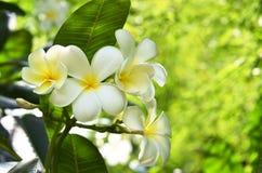 Flor del Frangipani en el árbol Foto de archivo libre de regalías