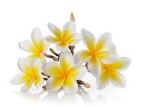 Flor del Frangipani en el fondo blanco Fotos de archivo libres de regalías