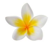Flor del Frangipani en el fondo blanco Imagenes de archivo