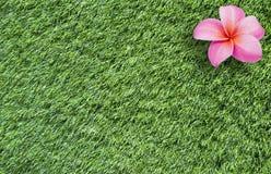 Flor del Frangipani en hierba Fotos de archivo libres de regalías