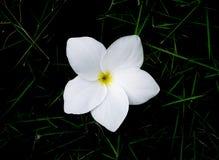 Flor del Frangipani en hierba Fotos de archivo