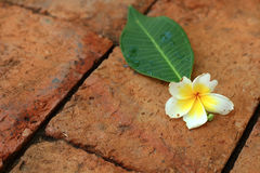 Flor del Frangipani en la naturaleza Imagen de archivo