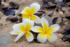 Flor del Frangipani en la playa Imagenes de archivo