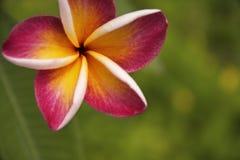 flor del frangipani (plumeria) Fotografía de archivo