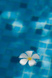 Flor del Frangipani que flota en agua azul Imagenes de archivo