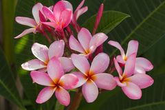 Flor del frangipani y agua rosadas de los descensos Foto de archivo