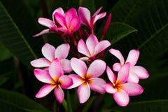Flor del frangipani y agua rosadas de los descensos Imagen de archivo libre de regalías