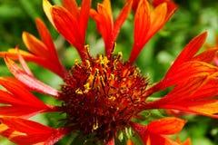Flor del Gaillardia Imágenes de archivo libres de regalías
