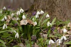 Flor del galanthus de Snowdrop fotos de archivo