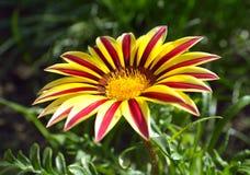 Flor del Gazania fotografía de archivo