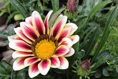 Flor del Gazania Fotos de archivo