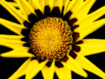 Flor del Gazania Imágenes de archivo libres de regalías