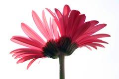Flor del gemelo siamés Imagen de archivo libre de regalías