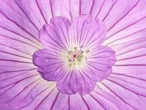 Flor del geranio Fotos de archivo
