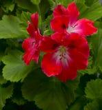 Flor del geranio Fotografía de archivo libre de regalías