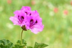 Flor del geranio Foto de archivo