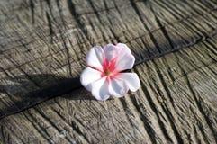 Flor del geranio foto de archivo libre de regalías