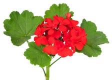 Flor del geranio fotografía de archivo