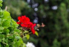 Flor del geranio Imagenes de archivo