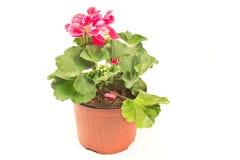 Flor del geranio en el pote aislado en blanco fotografía de archivo libre de regalías