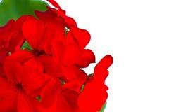 Flor del geranio en un fondo blanco Foto de archivo