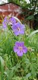 Flor del geranio del prado fotografía de archivo