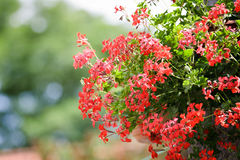 Flor del geranio que cuelga en jardín Imágenes de archivo libres de regalías