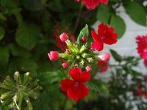 Flor del geranio rojo Imágenes de archivo libres de regalías