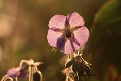 Flor del geranio salvaje imagen de archivo