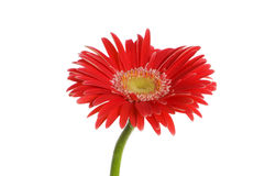 Flor del Gerbera Fotografía de archivo