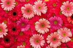 Flor del Gerbera Imagen de archivo libre de regalías