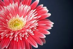 Flor del Gerbera Imagen de archivo