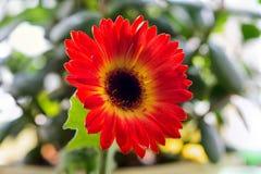 Flor del Gerbera Fotos de archivo