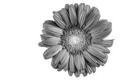 Flor del Gerbera, blanco y negro Fotos de archivo