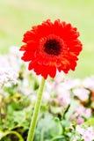 Flor del Gerbera en el chiangmai real Tailandia de la flora Foto de archivo libre de regalías