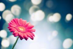 Flor del Gerbera en fondo brillante del bokeh foto de archivo